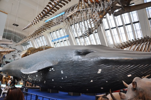 The Blue Whale in the Whale Hall