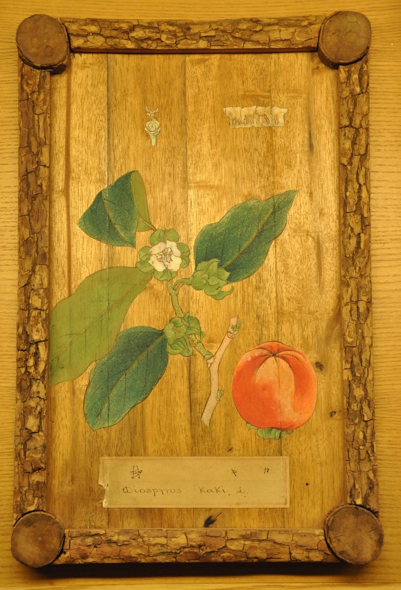 Diospyrus kaki - Japanese persimmon