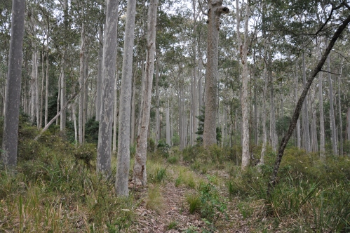 The spotted gum forest